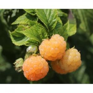 poza Arbusti fructiferi Zmeru, soiul `Fall Gold`, radacina ambalata.